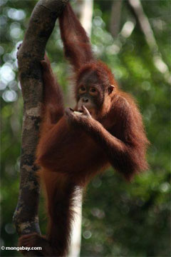 Palm oil orphan in Borneo.