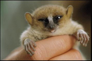 lemur madagaskar