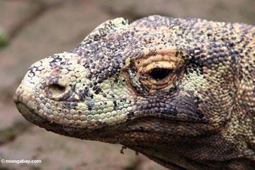 Komodo dragon - Wikipedia | 240x360