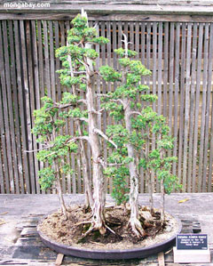 Bonsai Anfänger anfänger und sequoia - www.bonsai-fachforum.de