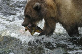 Fish farms are killing wild salmon in British Columbia