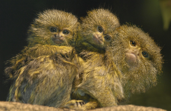 Bronx Zoo Marmoset Twins