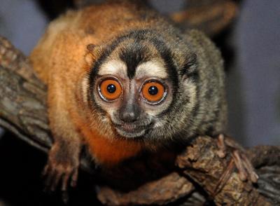 Photo: the night monkey