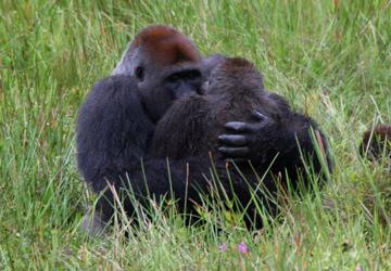 ape mating