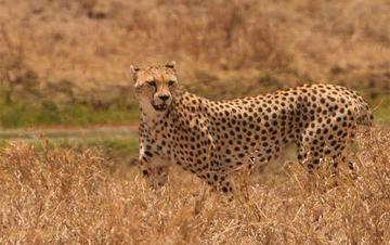 Cheetah population declines 90% in 100 years