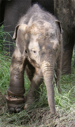 The injured baby elephant with its mother. Dr. Senthilvel said the baby elephant was unlikely to survive.