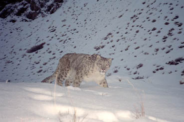 Snow leopard   WWF Scientific American Blogs