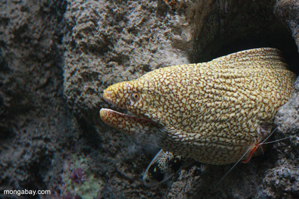 Moray eel with cleaner shrimp
