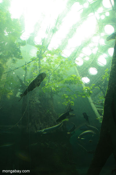 Freshwater fish seen through the Academy's Amazon flooded forest tunnel