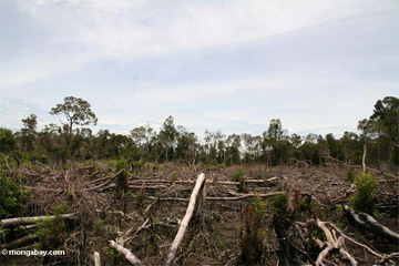 Deforestation for a new oil palm plantation in Kalimantan (Indonesian Borneo).