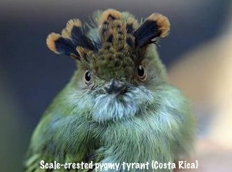 external image scale-crested.jpg