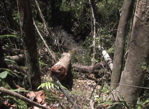 delmas to resume timber shipments  madagascar rainforest