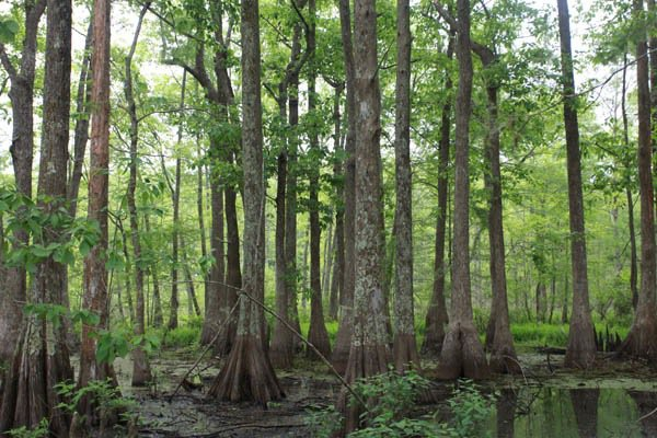 Cypress forest in the Lacassine National Wildlife Refuge. All photos by Rhett Butler