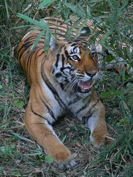 L'Inde et le sort de ses tigres sauvages