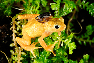 golden toad saved from brink of extinction