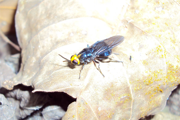 yellow-headed fly
