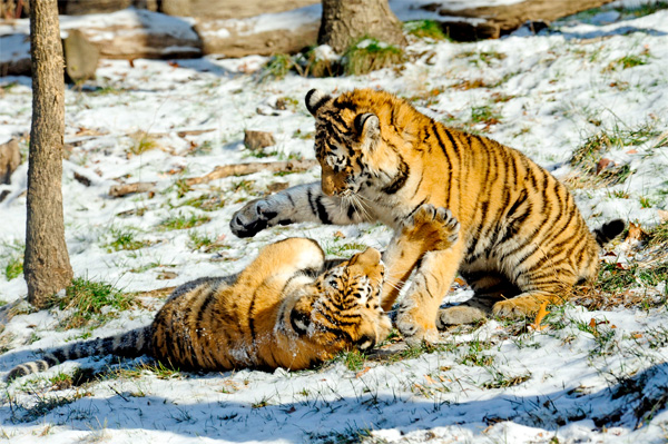 baby tigers playing in the snow