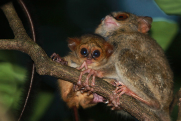 Tarsiers in North Sulawesi