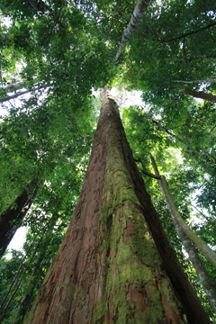 Giant Dipterocarp tree in Gunung Leuser, North Sumatra