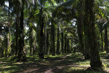 Oil palm plantation in North Sumatra