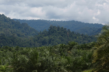 Oil palm estate in Sumatra