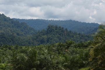 Oil palm estate in Sumatra
