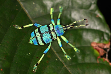 Weevil in West Papua
