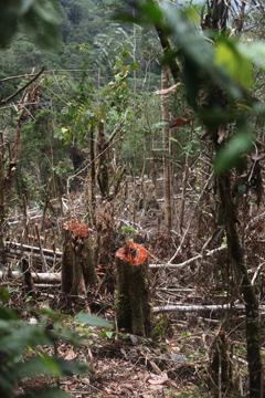 Logging in West Papua