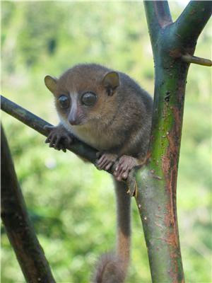 New species of mouse lemur announced last year: Microcebus gerpi. Photo by Blanchard Randrianambinina.
