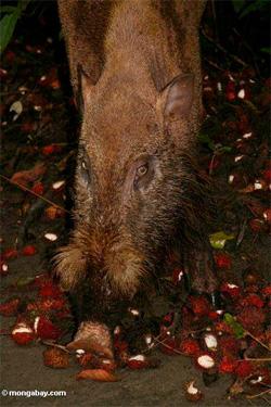 Borneo bearded pig