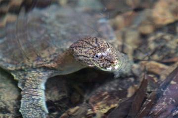 Sumatran freshwater turtle
