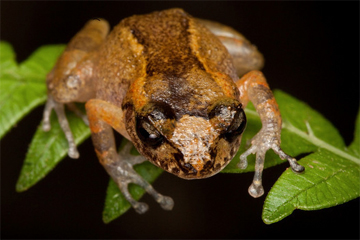 Ventriloqual Frog