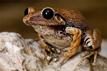 Macaya Burrowing Frog