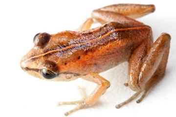 Mozart's Frog