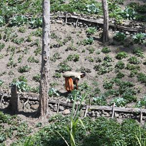 Dani woman working in a sweet potato field in Papua Province, Indonesia
