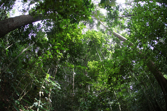Rainforest in West Kalimantan, Indonesia