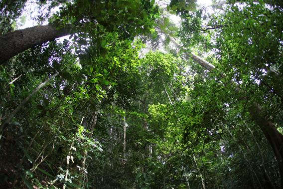 Rainforest in West Kalimantan, Indonesia