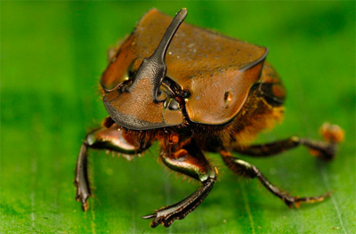 Males of this dung beetle species (Phanaeus chalcomelas) use horns as weapons during fierce battles over mates.