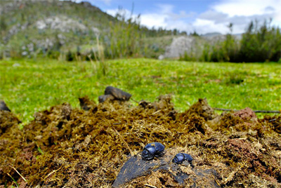 Dung beetles (Oruscatus davus) on horse dung in the high Andes. Dung beetles are key players in recycling animal dung and nutrients into the soil, regulating parasites, and dispersing seeds.