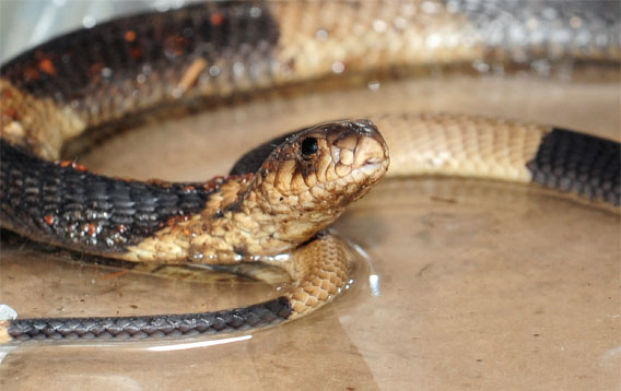 the missing bronx zoo cobra has been recaptured.  Photo by Julie Larsen Maher of WCS