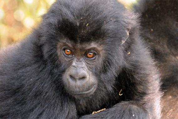 Grauer's gorilla is the world's biggest gorilla.