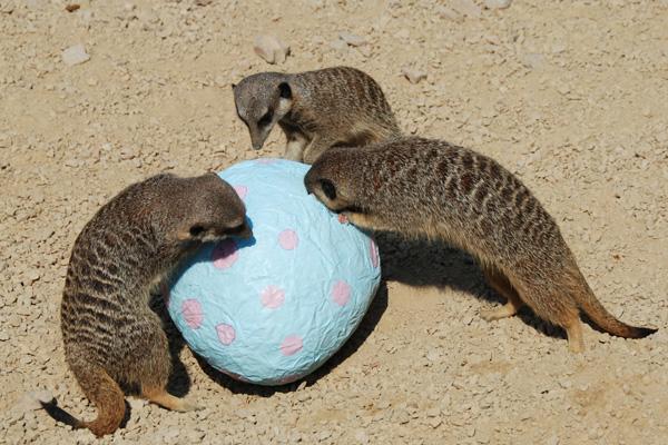 Meerkats opening easter eggs