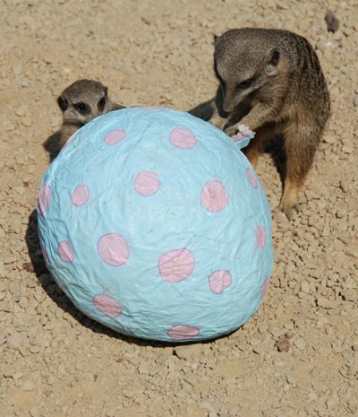 Meerkats opening a giant easter egg