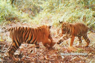 Sumatran tigers in the wild