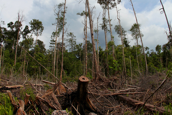 Illegal logging in Indonesian Borneo