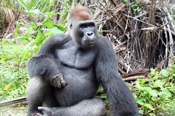 Lowland gorilla in Gabon.