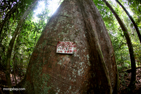Sign warning that a rainforest tree has been spiked to discourage illegal logging in Indonesian Borneo