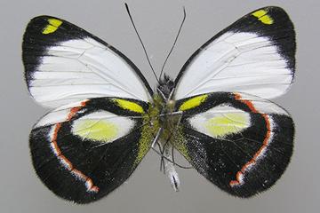 Papillon Delias durai © Henk van Mastrigt