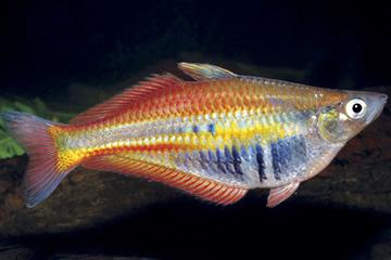 Chilatherina alleni (Regenbogenfisch) © Gerald R Allen
