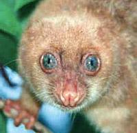 Couscous Spilocuscus wilsoni, une sorte de marsupial © Tim Flannery